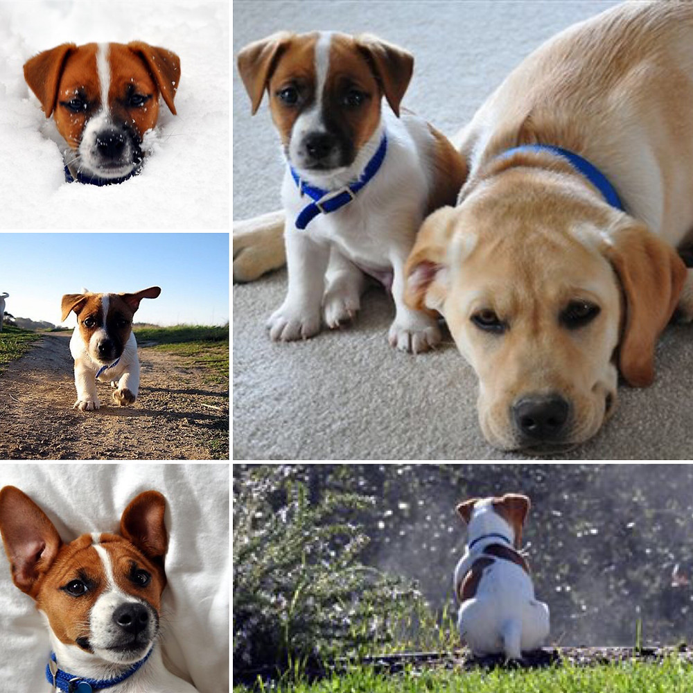 T-Bone and Bacon in their puppy year.