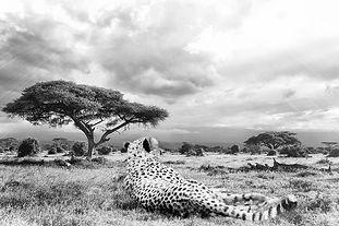 cheetah-1123143_960_720_edited.jpg