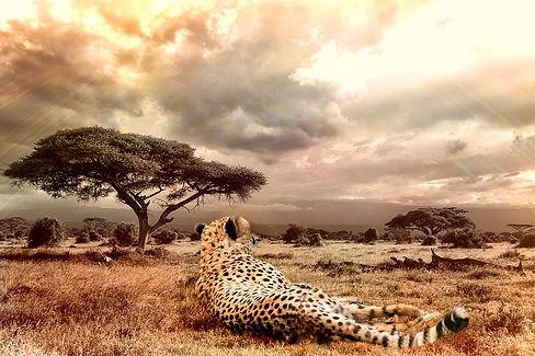 cheetah-1123143_960_720.jpg