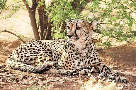 cheetah-864747_960_720.jpg