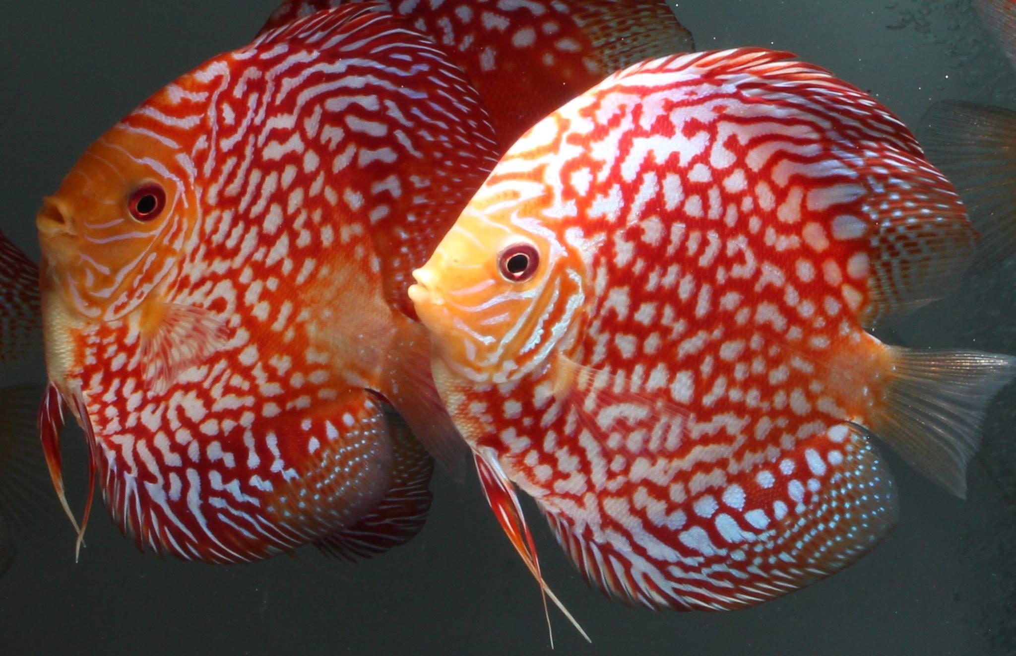 Wild or Tank Bred Discus? | Uncle Sam\'s Discus | Buy Discus Fish ...
