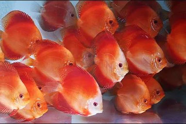 Categories uncle sam 39 s discus live discus fish for sale for Live discus fish for sale