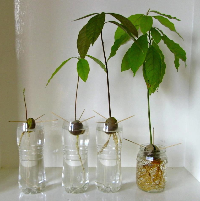 Germinating Avocado Seeds can be an easy and fun garden project!