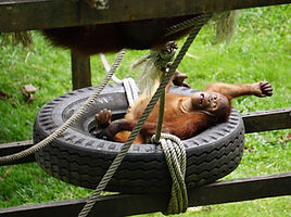 See Orangutans on Your Borneo Holiday