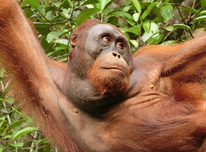 Hanging with Orang-utan, Semonggoh Wildl