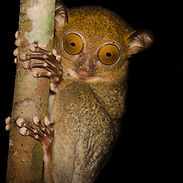 western tarsier.jpg