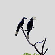 pair of black hornbills.jpg
