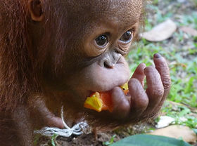 Project Orangutan, Borneo Adventure