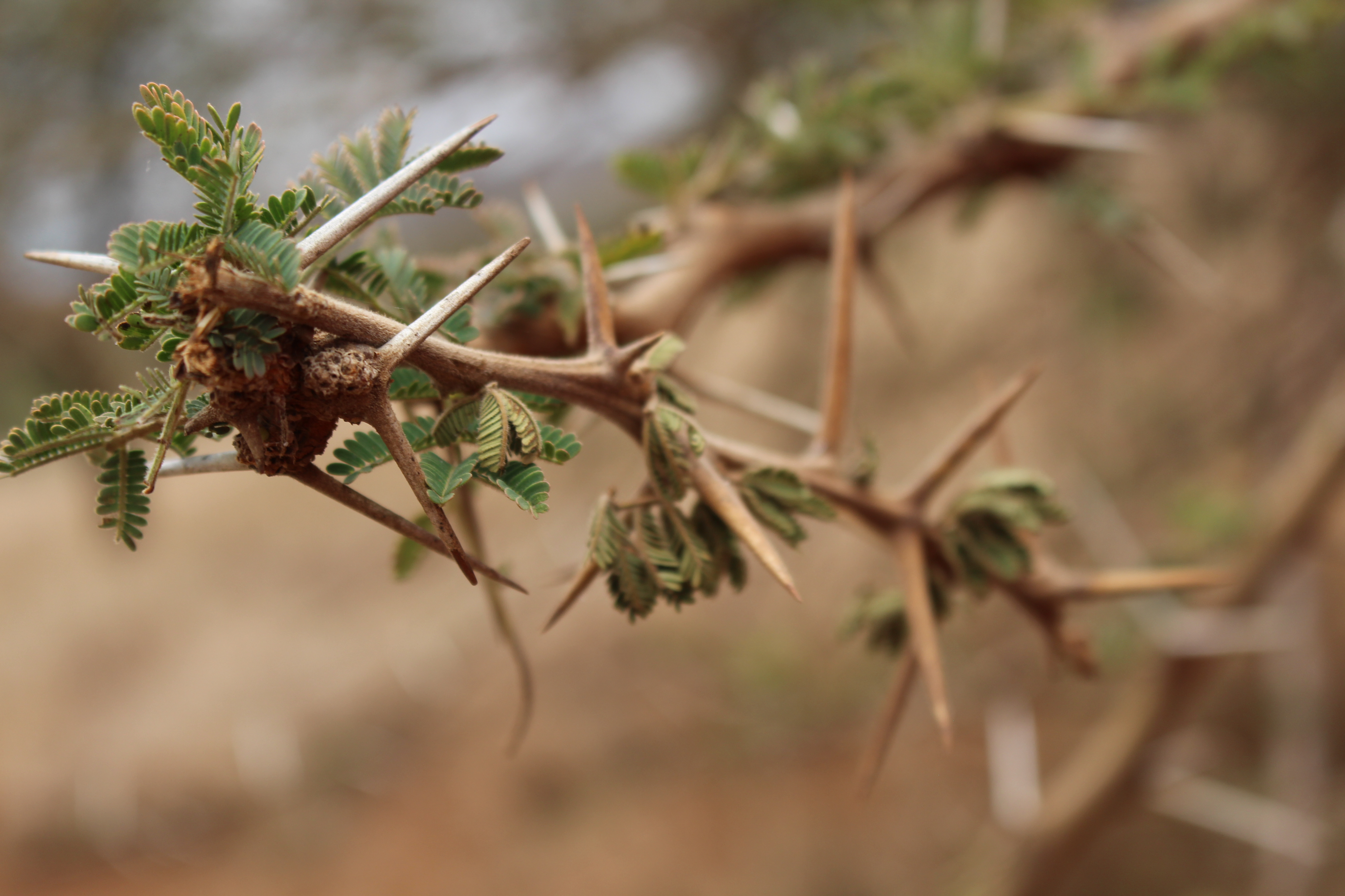 Acacia thorn or tooth pick