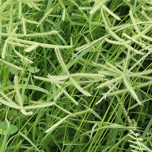หญ้าตีนกา ELEUSINE INDICA EXTRACT