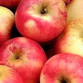 長野県須坂市産シナノピッコロりんご ご家庭用10kg(50個前後)