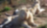 lions blancs.PNG