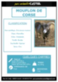mouflon de corse1.jpg