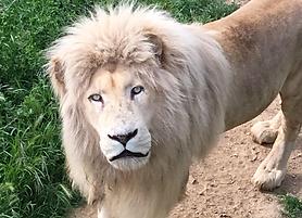 lion blanc.png