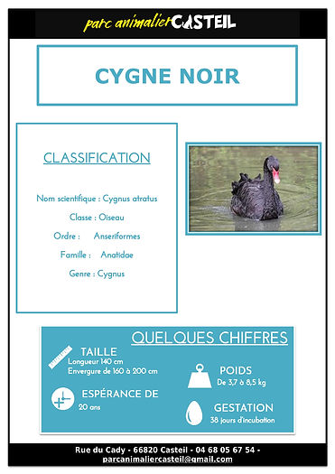 Cygne noir1.jpg