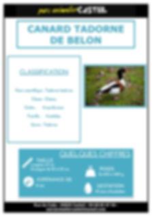 canard tadorne de belon1.jpg