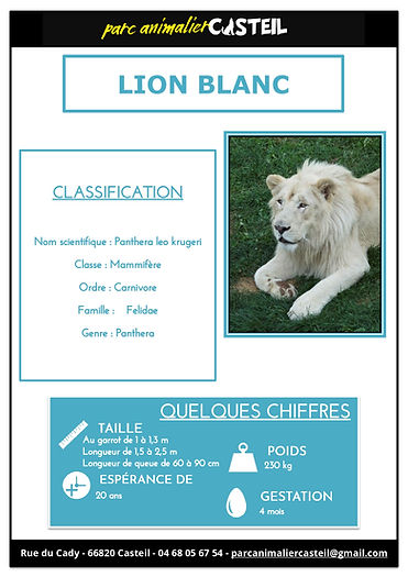 lion blanc1.jpg
