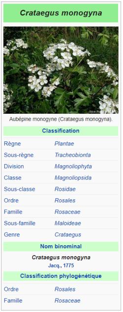 Aubépine monogyne