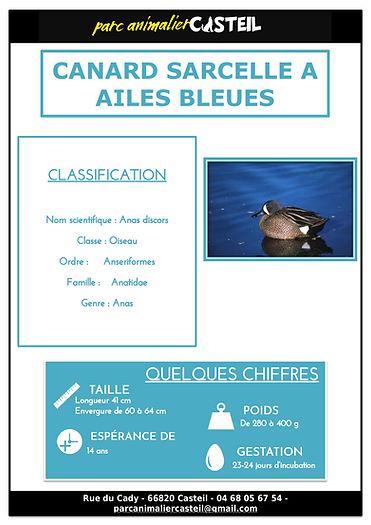 canard sarcelle ailes bleues1.jpg