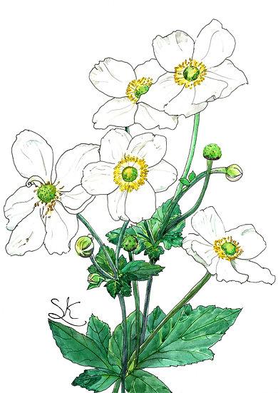 Anemone Flowers Watercolour
