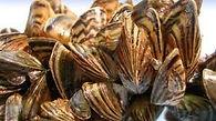 zebra-mussel-300x168.jpg