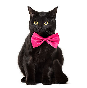 black-mixed-breed-cat-wearing-a-bow-tie-