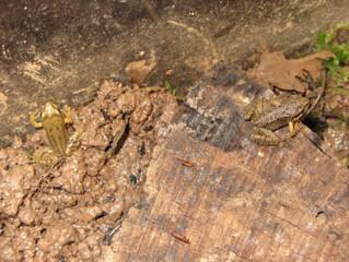 Lebendige Biologie in Klasse 5: Von der Kaulquappe zum Frosch