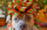 christmas-pitbull.jpg