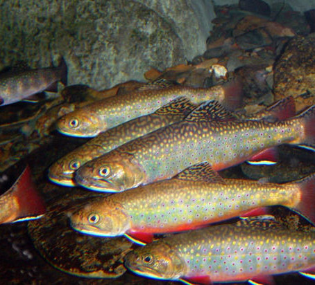 Brook Trout genome project