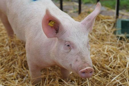 pig-domestic-pig-pig-like-mammal-fauna-s