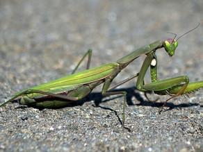 Descubren el truco de los machos mantis para evitar la decapitación después del sexo