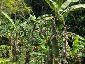 Potencia Chiapas en cultivo y producción de plátano a nivel nacional