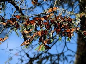 Asesinan a guía de turistas de santuarios de mariposas monarca