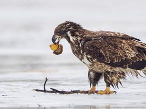 Casi mil 200 piezas de plástico fueron extraídas de 63 aves