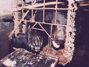 Granjas de bilis de oso: el maltrato animal de la medicina alternativa