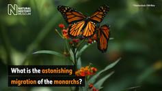 Meet the migrating monarchs
