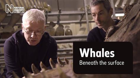 How do killer whales hunt?