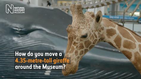 How do you move a giraffe around the Museum