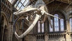 The blue whale: a three-year labour of love