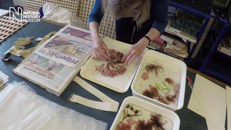 Preparing for the seaweed display in Hintze Hall