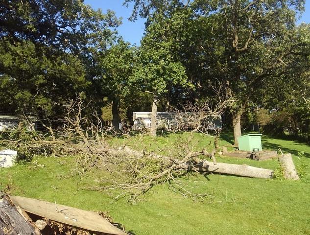 Fallen Ash Tree