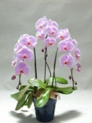 Phalaenopsis no Vidro