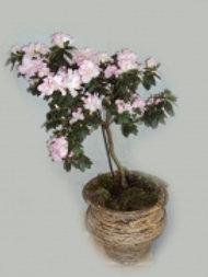 Bonsai Azaleia M