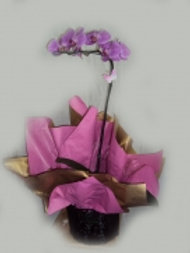 Phalaenopsis Baixa