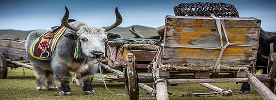 100年前の運搬役目の牛車のヤクは格好いい動物です。