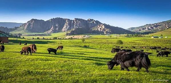 牛の仲間であるヤクに会えることはテレルジ国立公園でみることができる