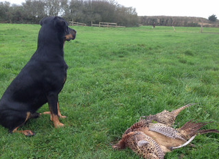 The brand hound performs well in the field