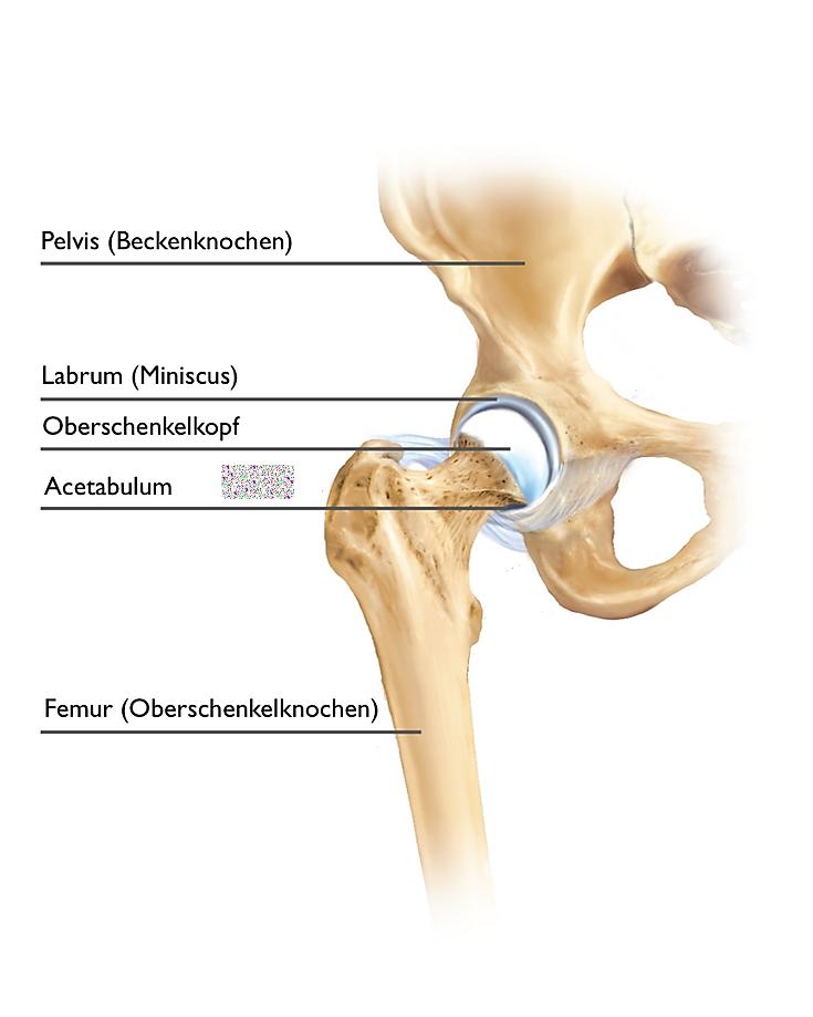 Hüftzentrum Basel | Hüftspezialist | Anatomie Hüfte-anatomy hip joint