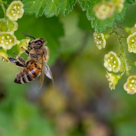 Agrotóxico utilizado contra fungos também pode matar abelhas