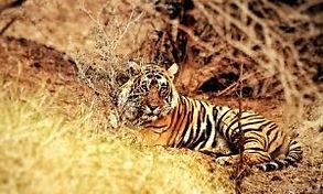 Explore Around Astroport Sariska Tiger R